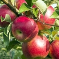 قیمت کود ارگانیک مناسب درخت سیب